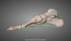 内側から見た足底腱膜を示す画像