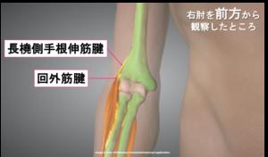 前方から見た前腕伸筋群の画像