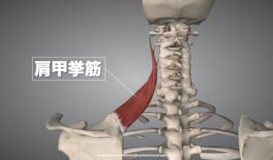 肩甲挙筋の解剖画像