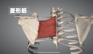菱形筋の解剖画像
