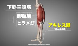 下腿三頭筋の解剖画像