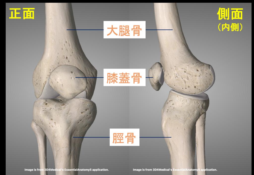 膝関節を構成する骨(大腿骨・膝蓋骨・脛骨)