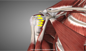 肩甲骨関節窩への求心性を示す解剖画像