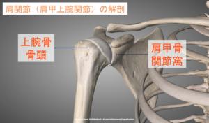 肩関節(肩甲上腕関節)の解剖画像