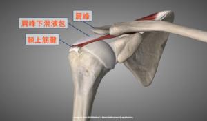 肩峰と肩峰下滑液包・棘上筋の位置関係を示す解剖画像