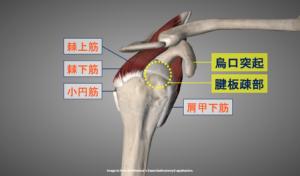 腱板疎部と烏口突起の位置を示す画像