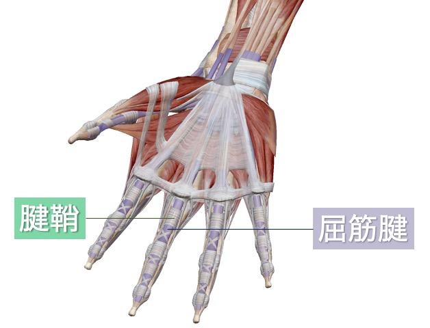 屈筋腱と腱鞘の解剖を示す画像