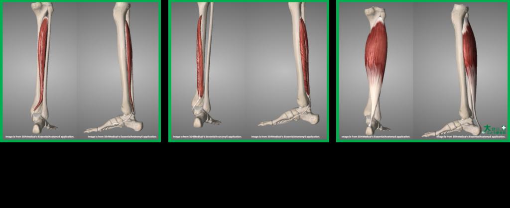 シンスプリントに関与する筋肉(後脛骨筋・長趾屈筋・ヒラメ筋)を示す画像